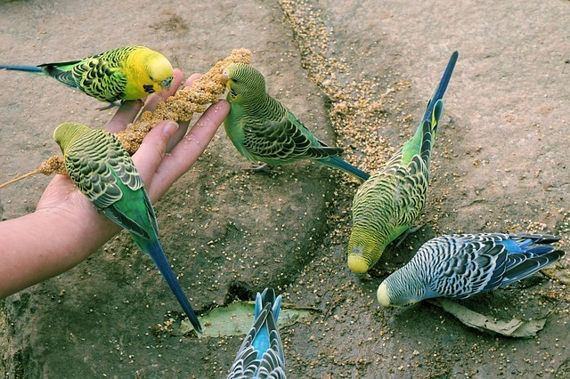 Budgerigars Eating Millet