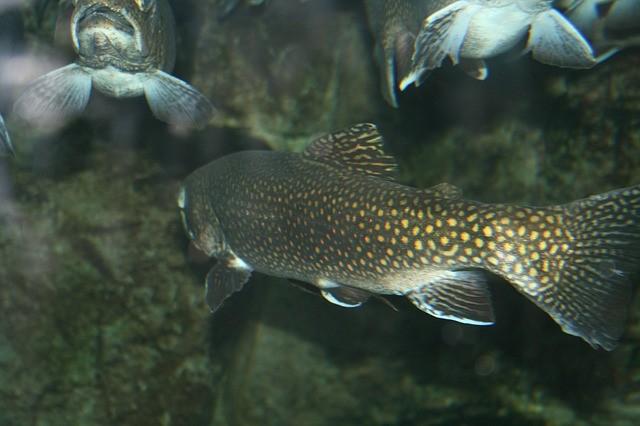 Food - Sea or Brown Trout