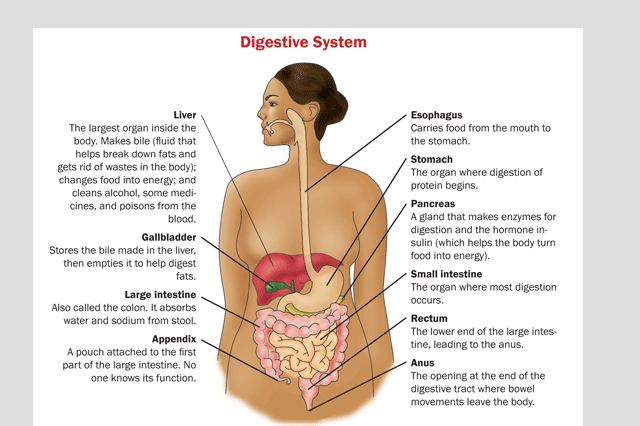 Paleo Diet - Digestive System Functions Better