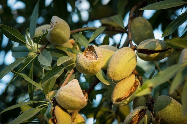 Paleo Diet - Almond Tree